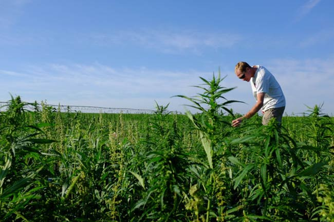 New York Lawmakers Pass Hemp Bill